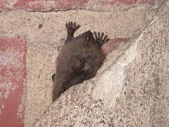 Na miejsce hibernacji nietoperze często wybierają bardzo wąskie szczeliny, fot. Maria Chybowska