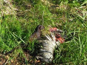 Norka przy martwym żurawiu fot. M. Szypulski