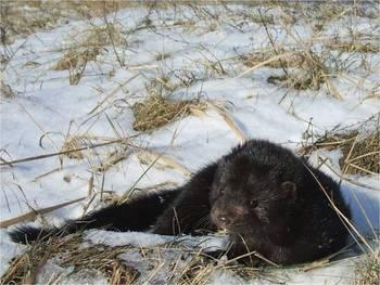 Norka w trakcie odpoczynku fot. M. Niemczynowicz