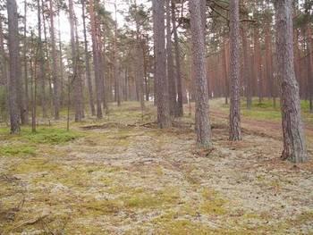 Bory - chrobotkowe - jedno z typowych dla regionu siedlisk przyrodniczych chronione