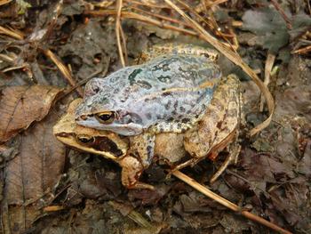 Żaba moczarowa, Fot. Maria Chybowska