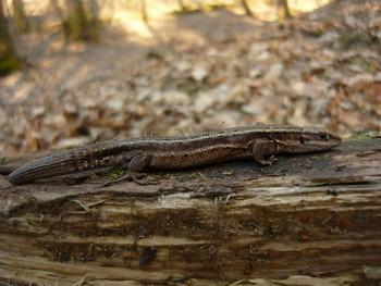 Jaszczurka żyworodna, Fot. Maria Chybowska