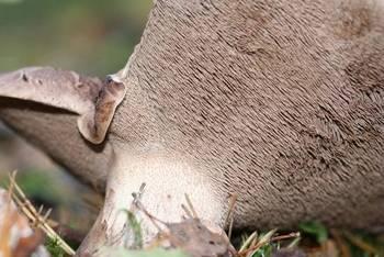 Hymenofor sarniaka fot. M. Kochanowska