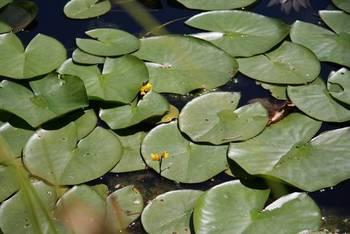 Kwiaty pływacza pośród liści grzybieni białych fot. M. Kochanowska