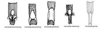 Podstawa blaszki liściowej u różnych gatunków trzcinników rys. M. Kochanowska