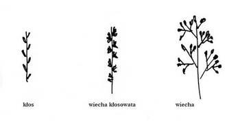 Różne typy kwiatostanów u traw rys. M. Kochanowska