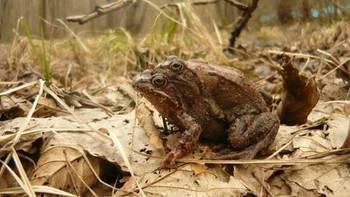 Para żab trawnych wędrująca w miłosnym uścisku zwanym ampleksusem