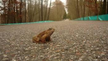 Płazy przekraczające jezdnię są zupełnie nieświadome niebezpieczeństwa...