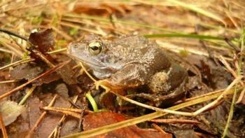 Wybarwiający się na niebiesko samiec żaby moczarowej