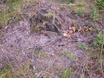 Sadzonki dębu uszkodzone przez dziki w 2012 roku.