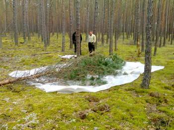 Ścinka drzew na płachtę