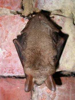 Nocek duży to jeden z gatunków nietoperzy, dla ochrony którego wyznacza się obszary sieci Natura 2000 (fot. Maria Chybowska)
