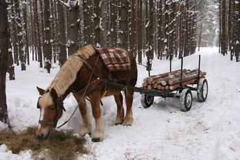 Zrywka drewna fot. M. Chybowska