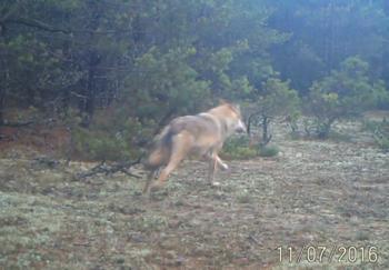 Zamieszanie wokół wilka