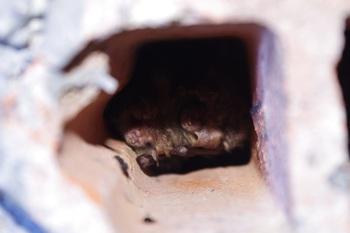 Często zdarza się, że nietoperze zimują w skupiskach. Na zdjęciu dwa gacki brunatne (fot. M. Chybowska)
