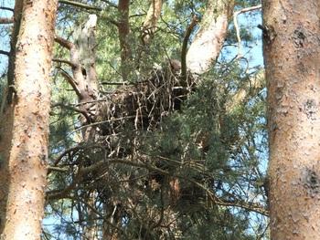 Czynne gniazdo bielika, fot. K. Lubińska