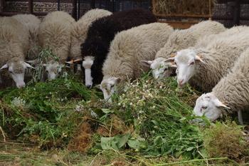 Owce świniarki