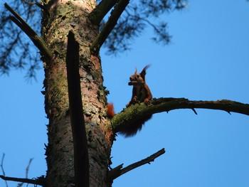 Wiewiórka fot. S. Pestka