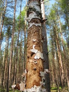 Monitoring martwego drewna
